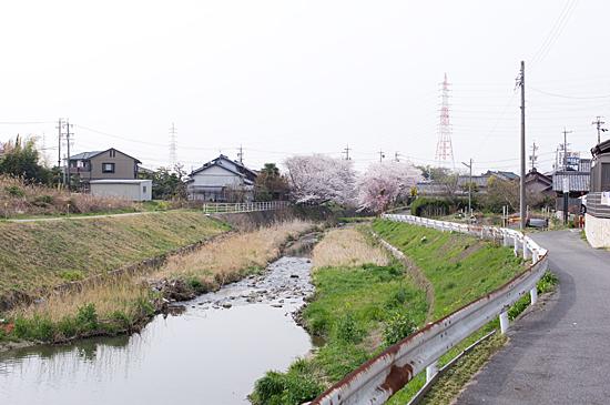 天白川桜-3