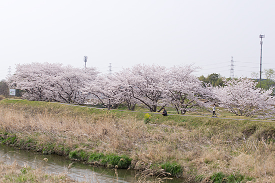 天白川桜-5