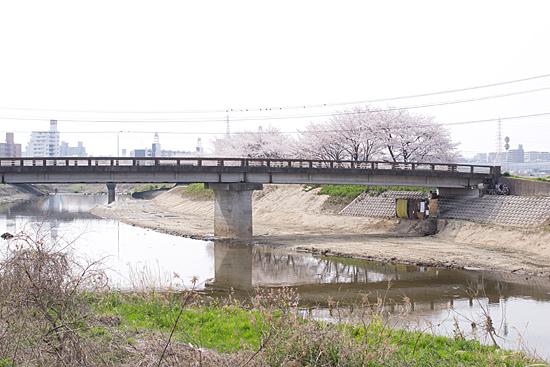 天白川桜-6