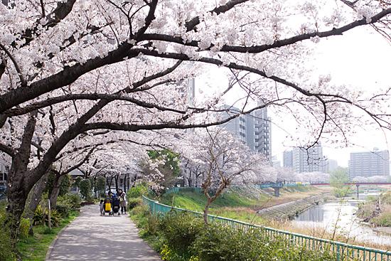 天白川桜-7