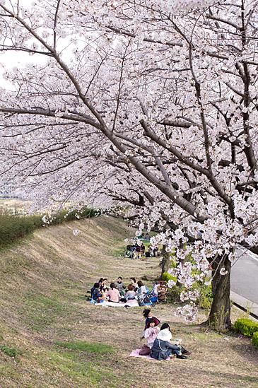 天白川桜-8
