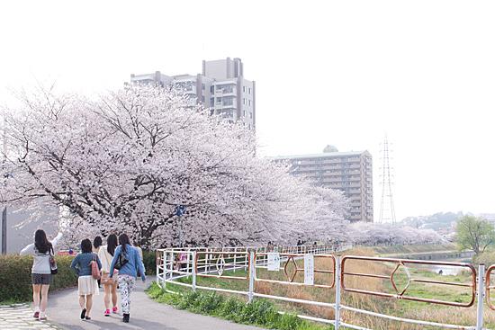 天白川桜-9