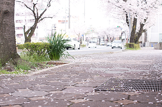 桜の思い出-3