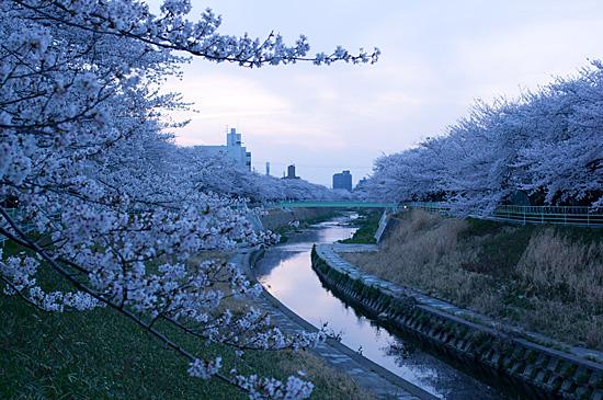 香流川桜-10