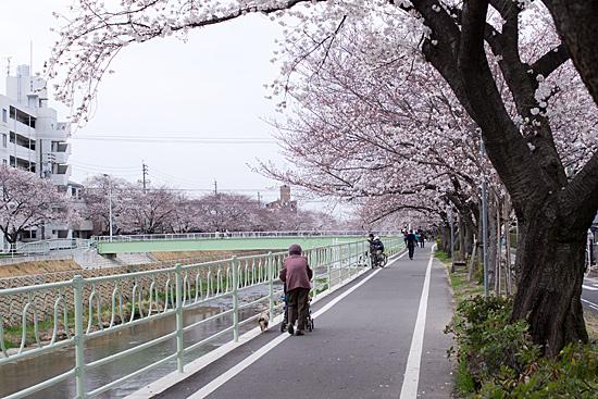 香流川桜-2