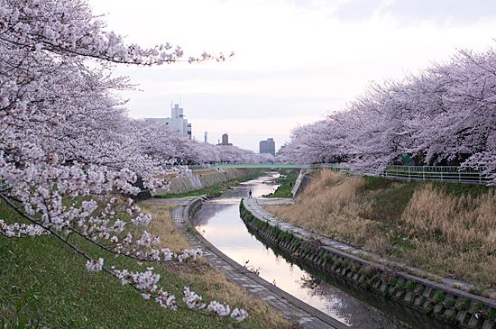 香流川桜-6