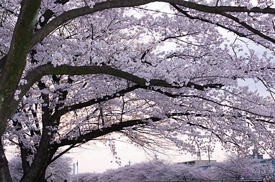香流川桜-7