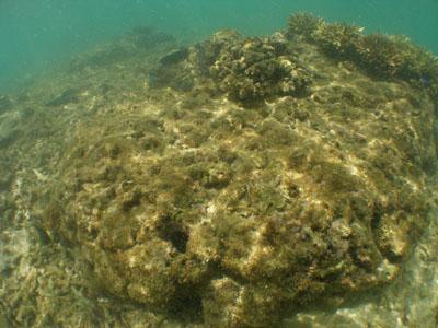 サンゴの植え付け