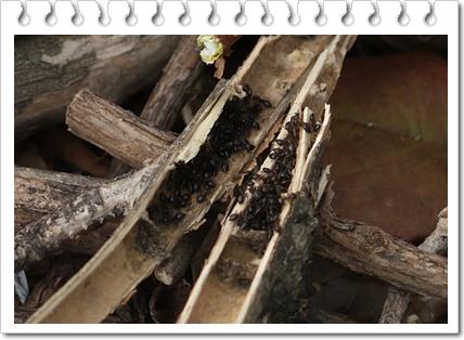 アリの越冬
