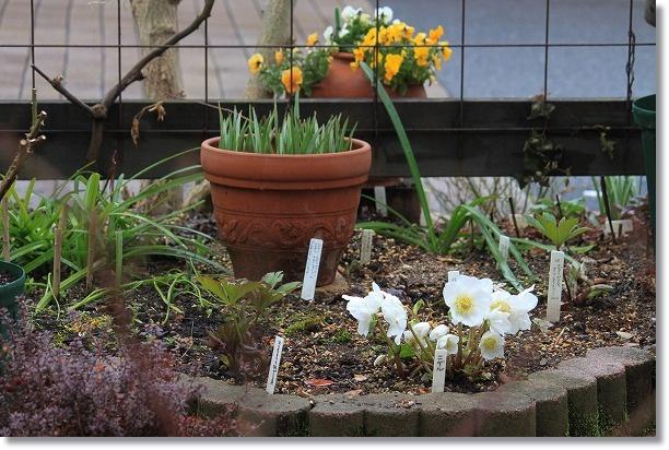 花壇のニゲル
