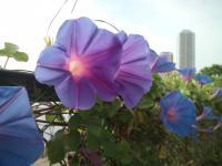 隅田川沿いの朝顔