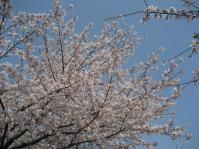 岡崎お花見 009