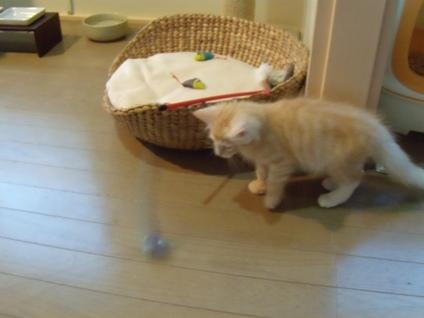 2010.8.6 初めて家に来た日のフレイ 食事後、おもちゃで活発に遊ぶ、やはりRIENさんのおもちゃはすごい