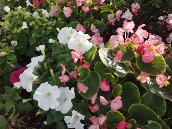 ベコニア花だん