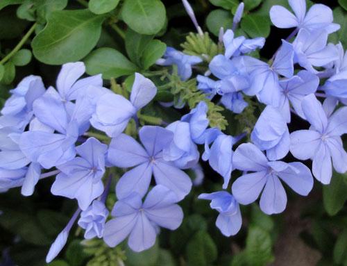 青い花は涼やかたい