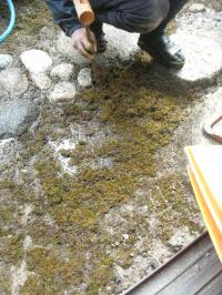 浸透ます苔はり