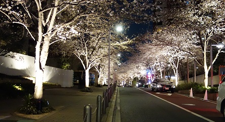 夜桜 六本木