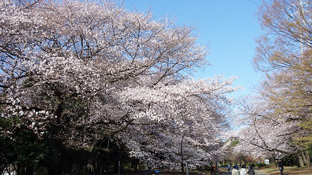 桜 駒沢公園