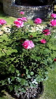 110519 薔薇3