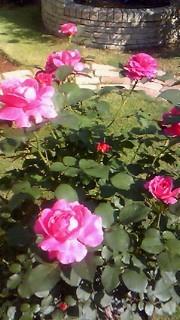 110519 薔薇2