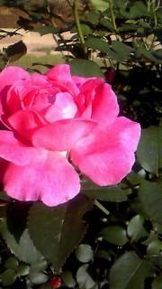 110519 薔薇1
