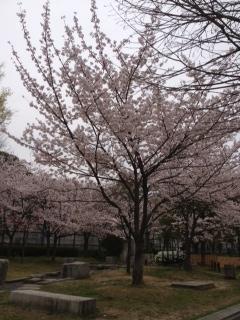 2013桜16
