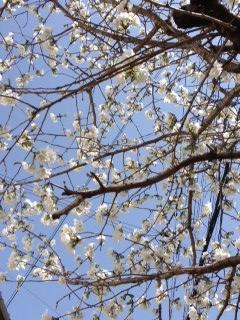 2013桜14