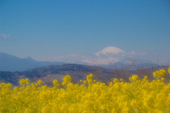 富士山と菜の花2