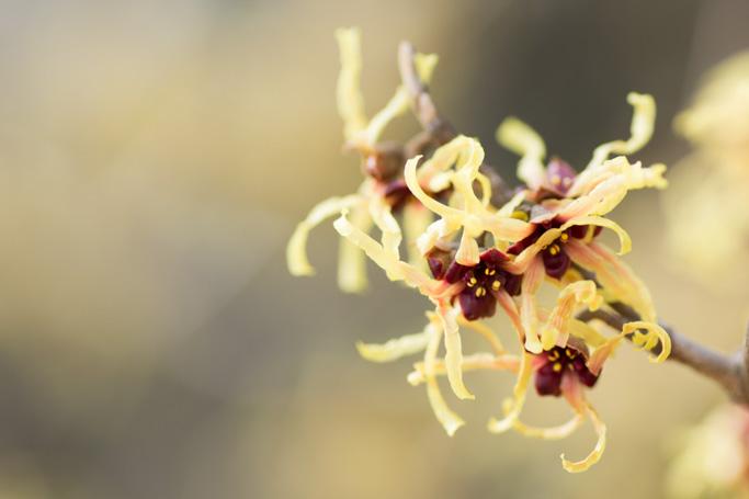 マンサクの花2