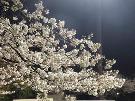 奥戸グランド桜P3260821_convert_20130327135151