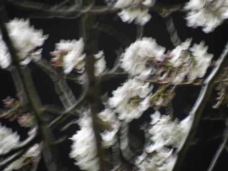 奥戸桜の粒P3260815_convert_20130327134922