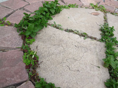 お庭の草ミント