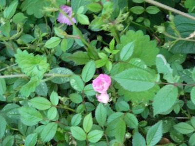 お庭ミニバラピンク