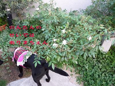 お庭バラ白。。。ちいさいのコピー