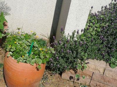 お花ラベンダーと雑草