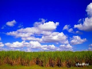 サトウキビ畑 2