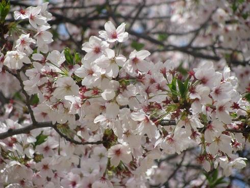 sakura2011 no2