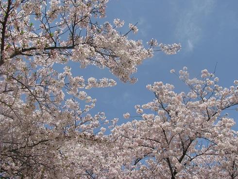 sakura2011 no3
