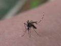 090530_002-d7257やぶ蚊