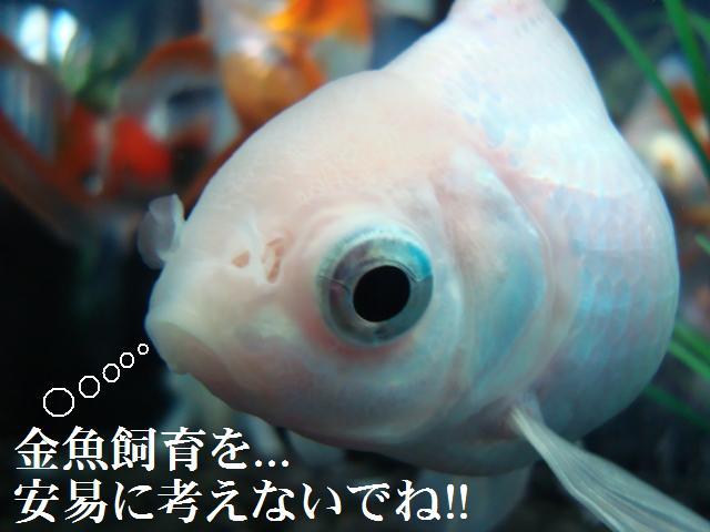 金魚飼育は..奥が深いし!..簡単には出来ないですよ!