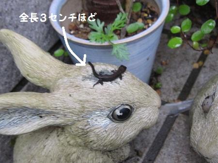 001トカゲの赤ちゃん1