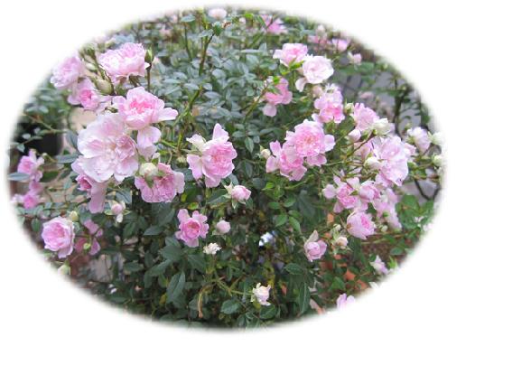 バラの庭4