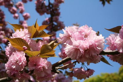 八重桜も好き。