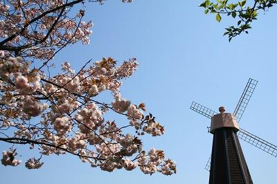 青空と八重桜★