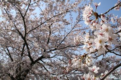 キレイな桜。