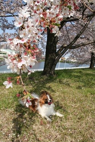 桜♪キレイ♪