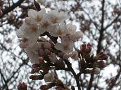 20100329桜 (1)