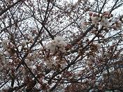 20100329桜