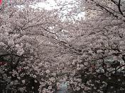 20100404お花見 (9)