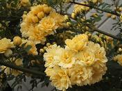 20100424黄色いバラ (1)